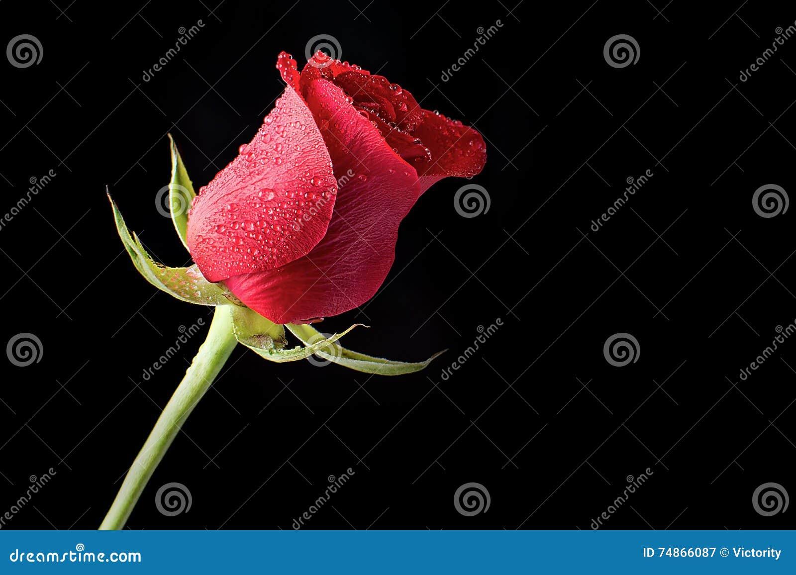 Härliga och nya röda Rose Bathed i morgondagg på en svart bakgrund