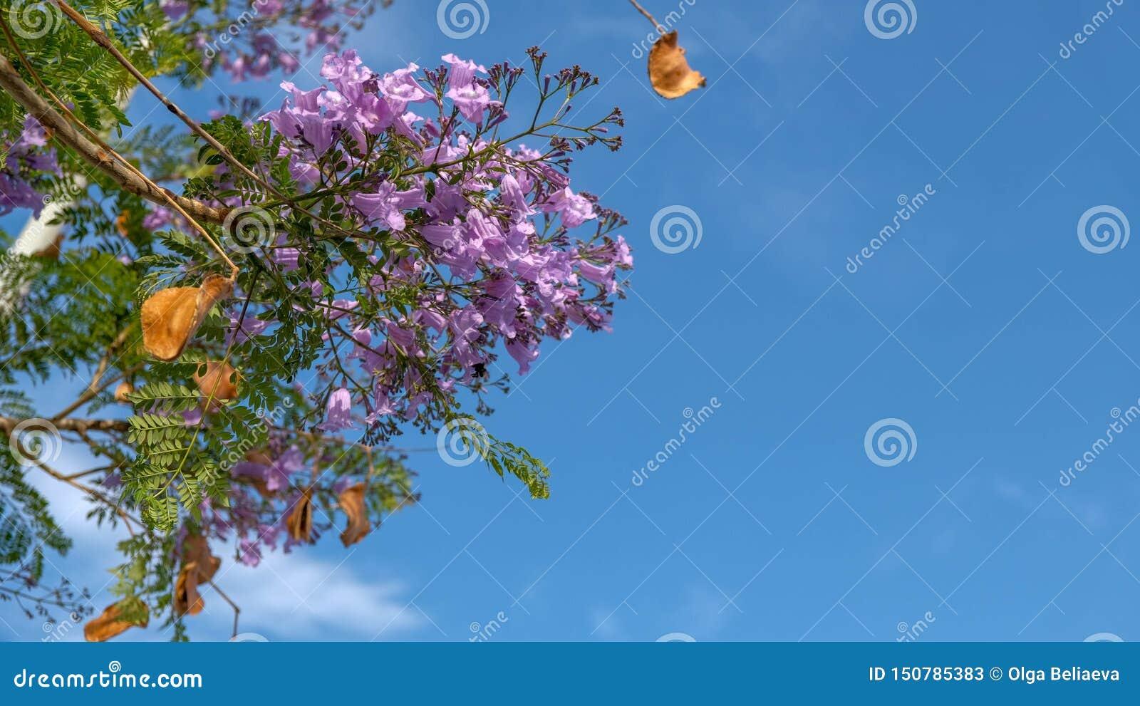Härliga purpurfärgade blommor av vändkretsjakarandaträdet på blå himmel