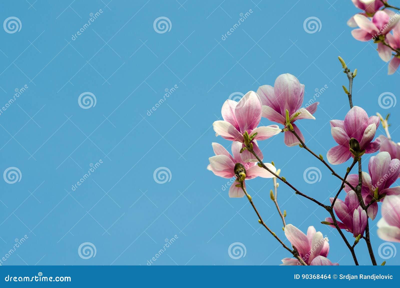 Härliga purpurfärgade magnoliablommor kryddar på våren på magnoliaträdet blå sky för bakgrund
