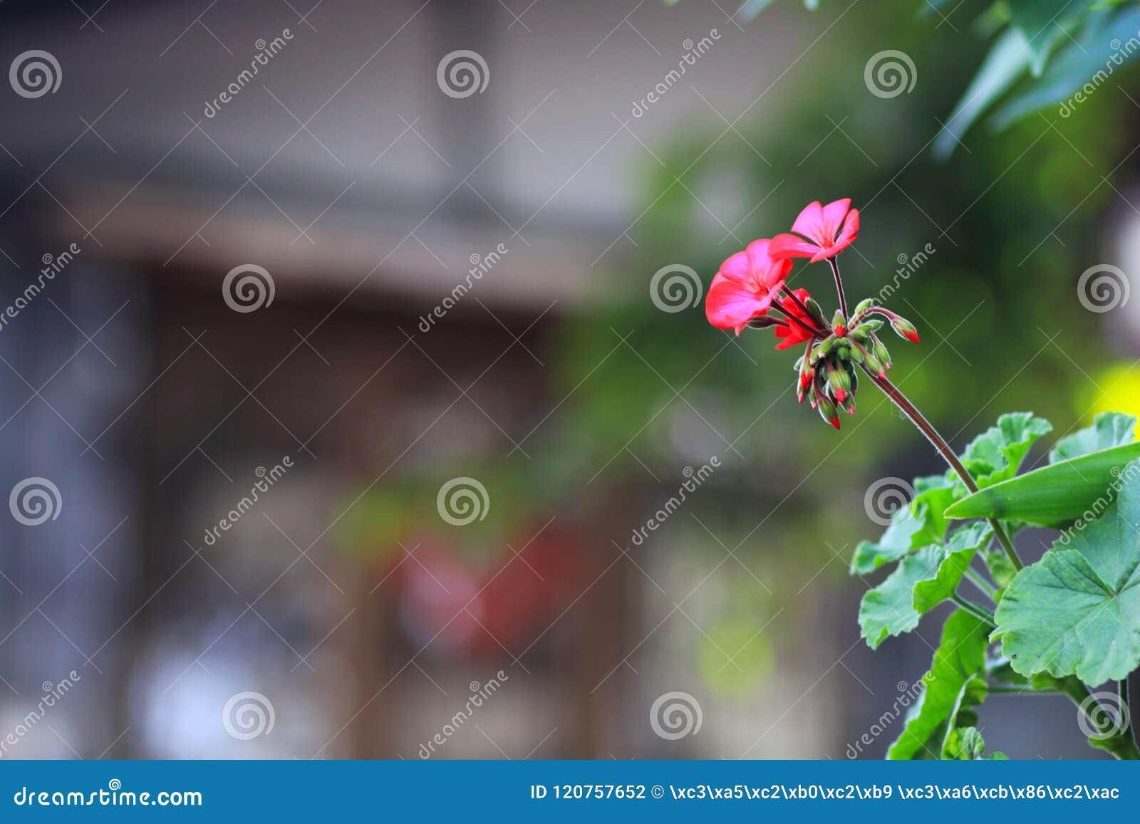 Härliga röda blommor i den acient staden