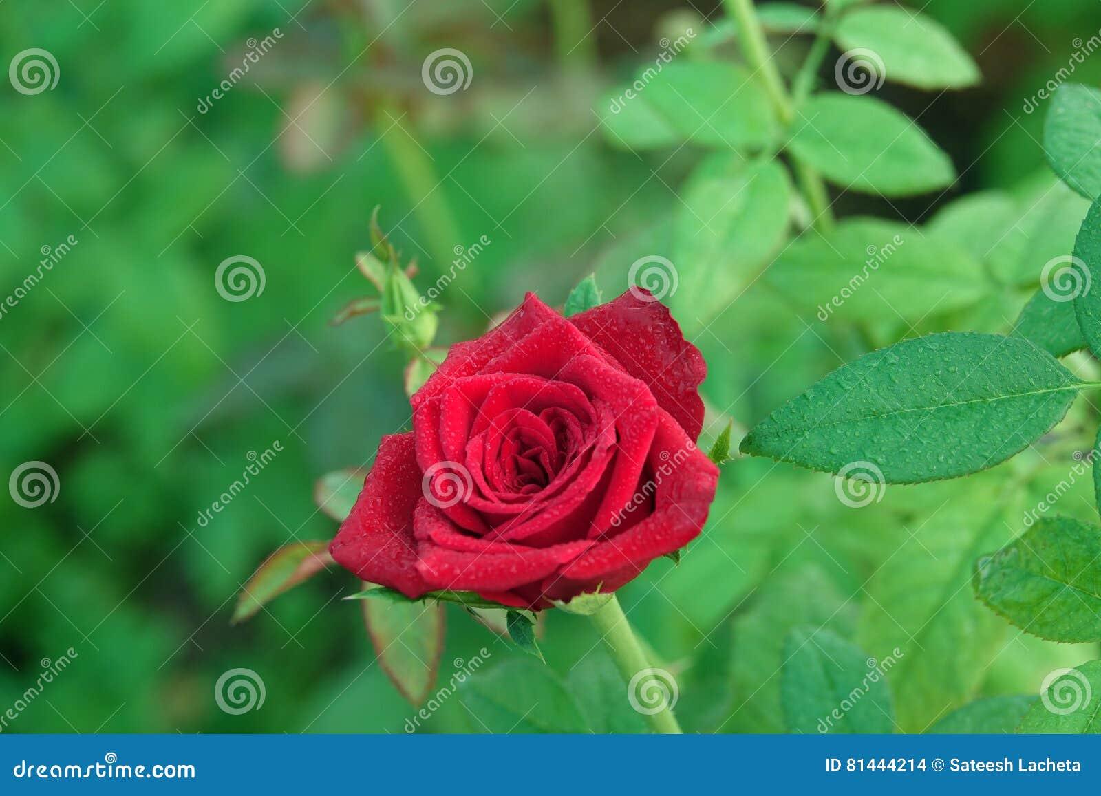 Härliga röda Rose Flower med vattendroppar