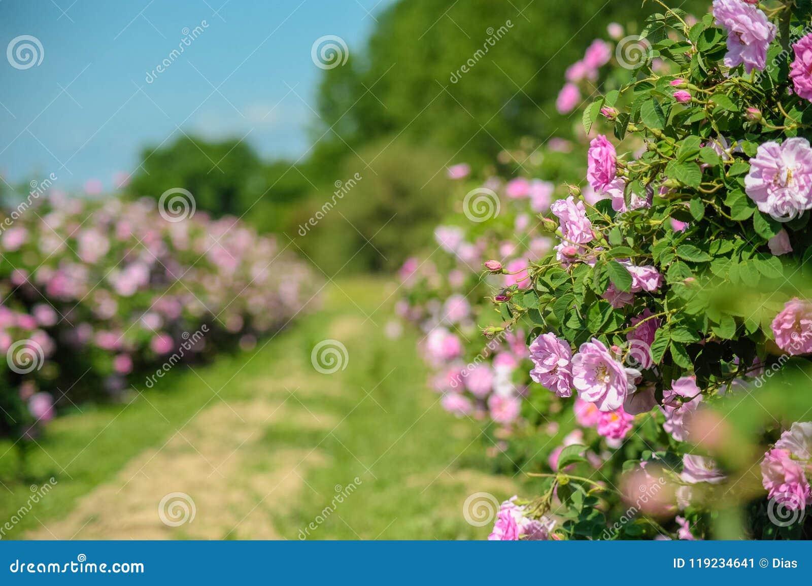Härliga Rosa damascena i rosträdgård