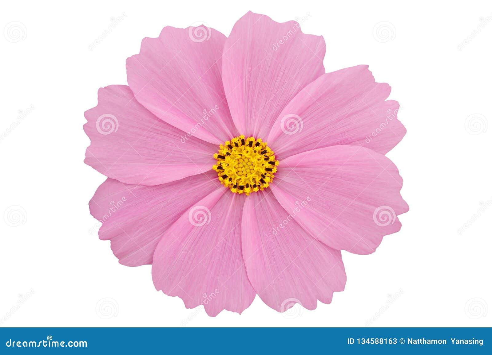 Härliga rosa kosmos blommar isolerat på vit bakgrund med den snabba banan