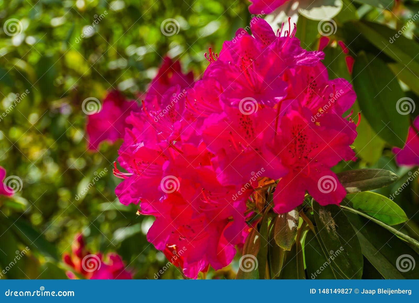 Härliga rosa rhododendronblommor i makrocloseupen, kultiverad blomma buske, populär dekorativ växt för trädgården, natur