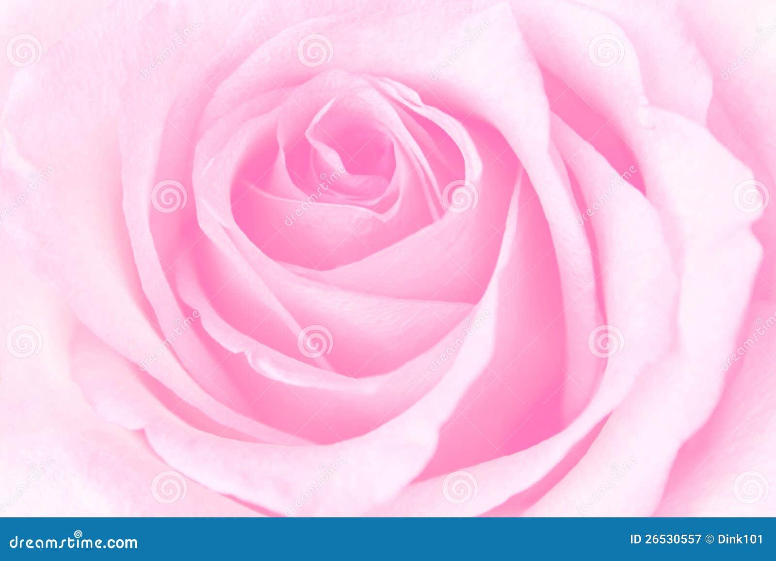 Härliga rosa Rose