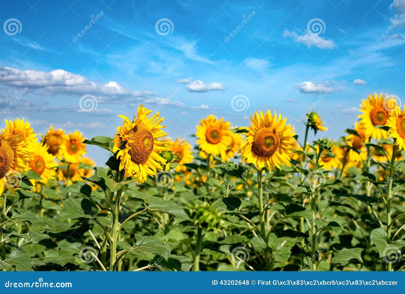 Download Härliga Solrosor Och Landskap Arkivfoto - Bild av härlig, blommor: 43202648