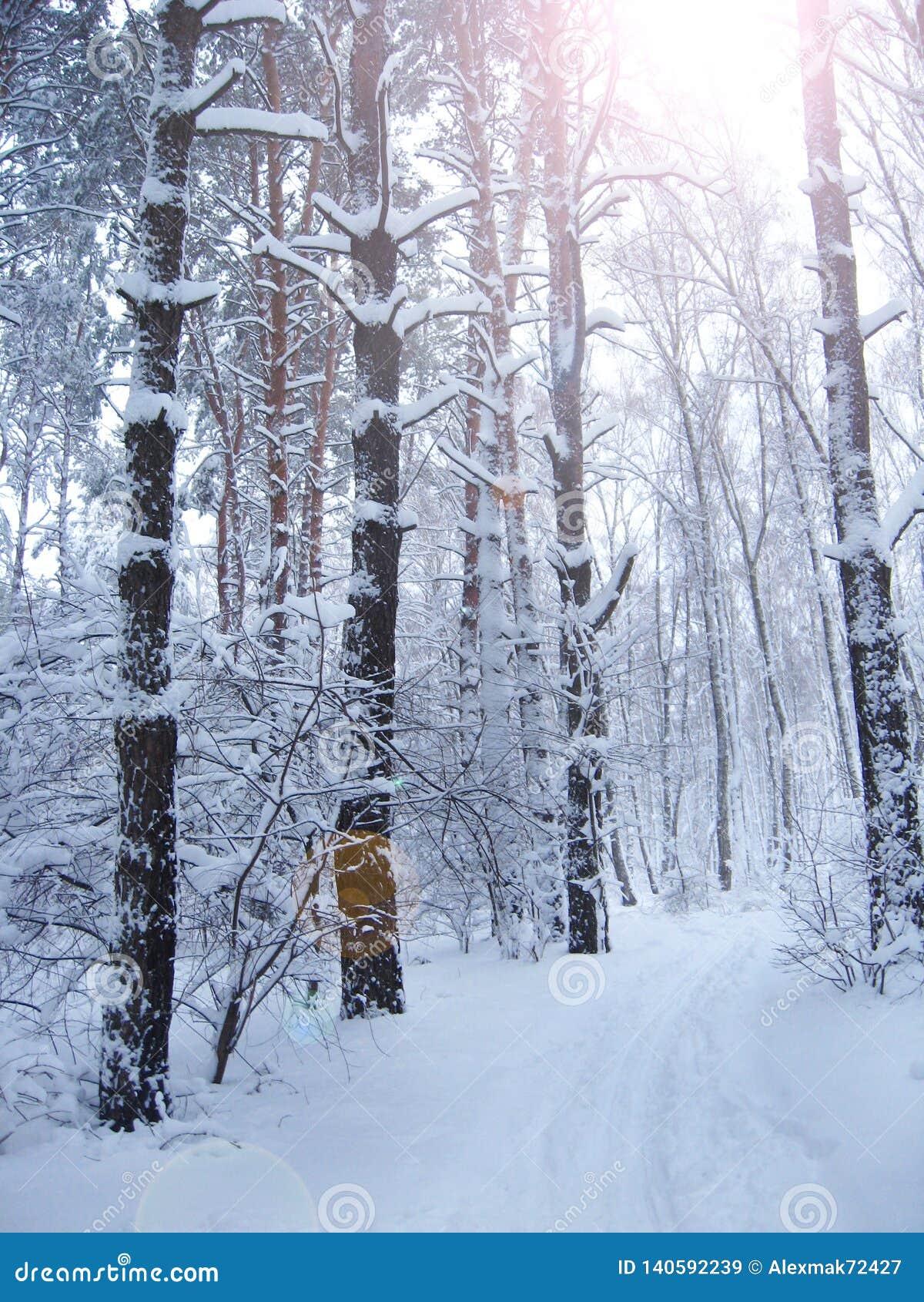 Härliga träd som täckas med frost parkerar in, med solstrålar svart blått footwayfotolandskap tonade vita vinterträn
