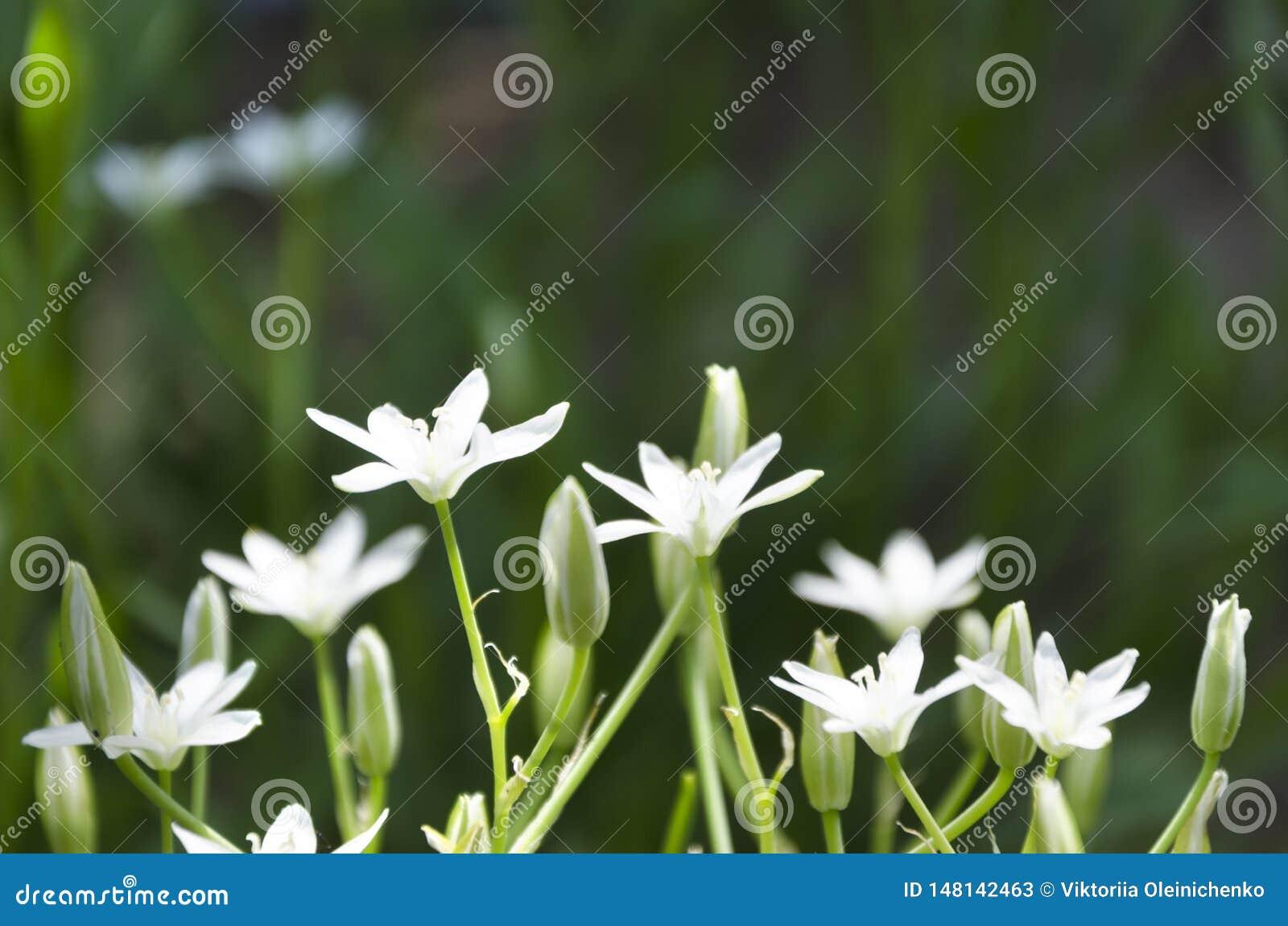 Härliga vita vårblommor i trädgården Vita stjärna-formade blommor för vår mot gröna gass