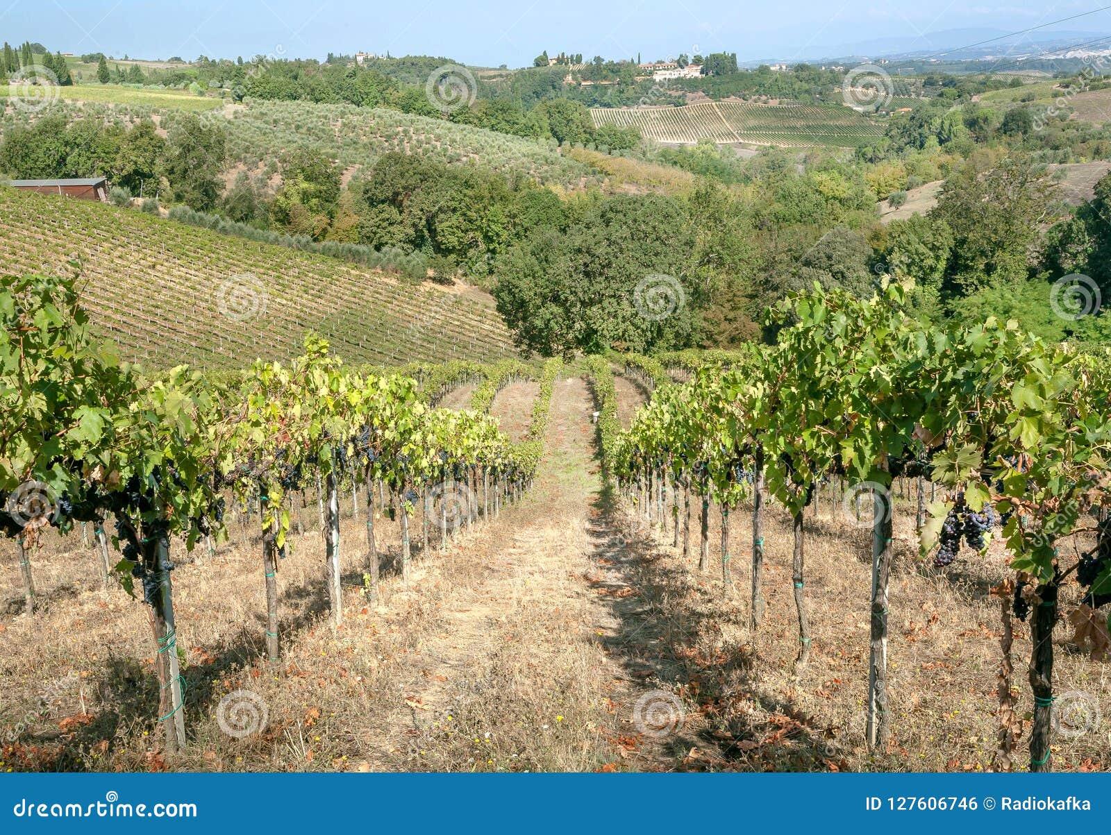Härliga wineyards på kullar av Tuscany Färgrikt vingårdlandskap i Italien Vingården ror på det soliga landslandskapet