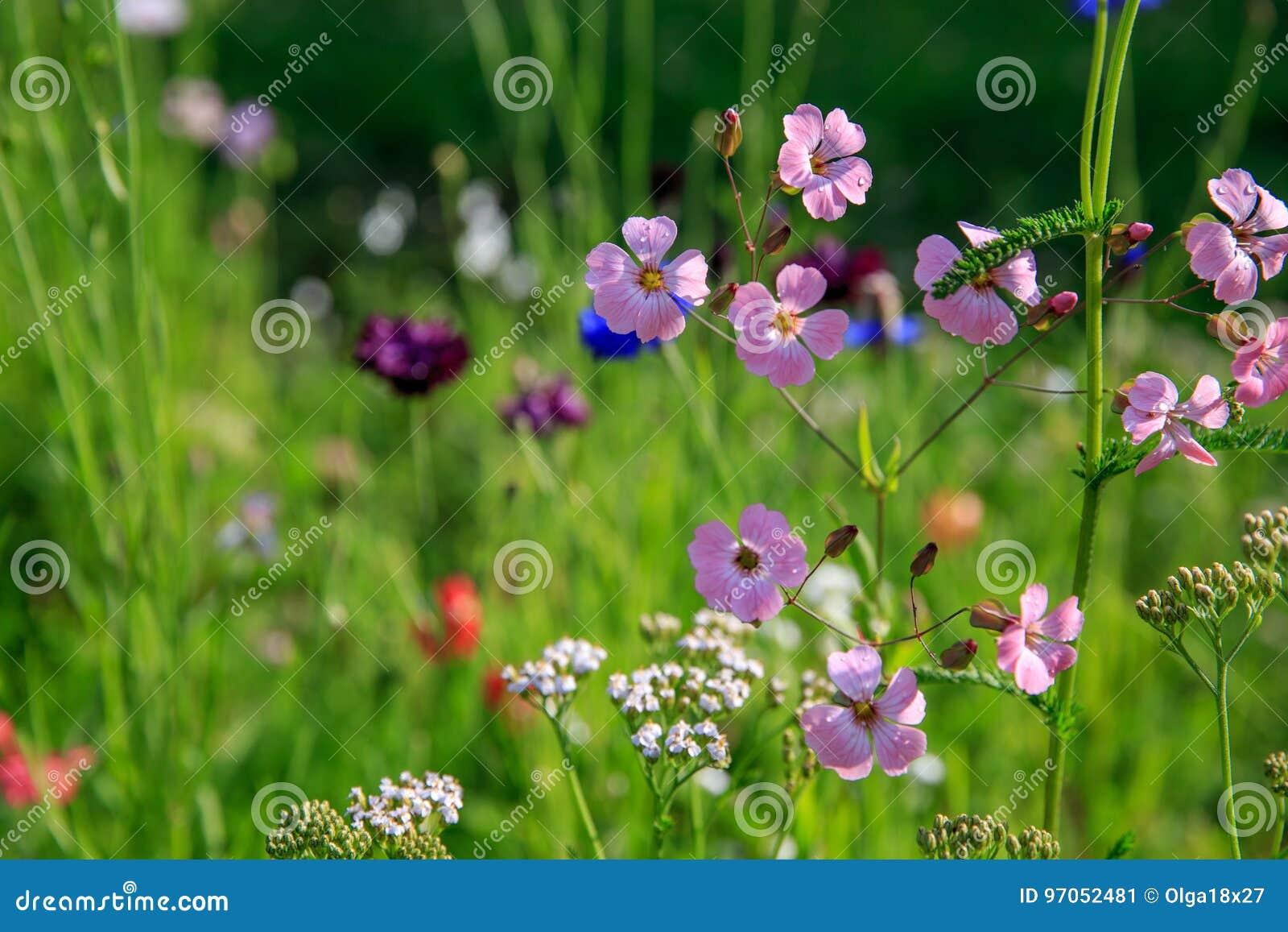 Härligt ängfält med lösa blommor Vårvildblommacloseup bakgrund suddighetdde den skyddande pillen för maskeringen för hälsa för om
