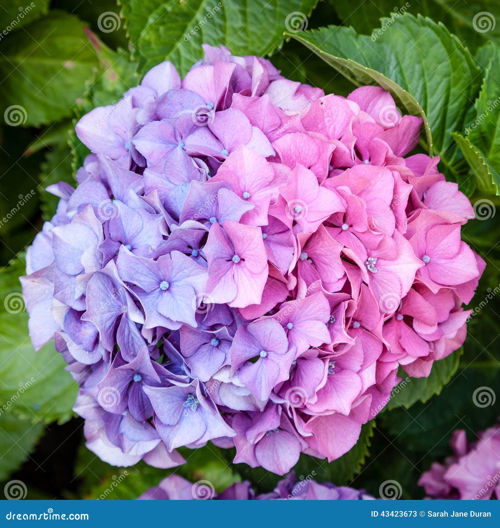 Härligt Bicolor Huvud För Blomma För Rosa Färg Och
