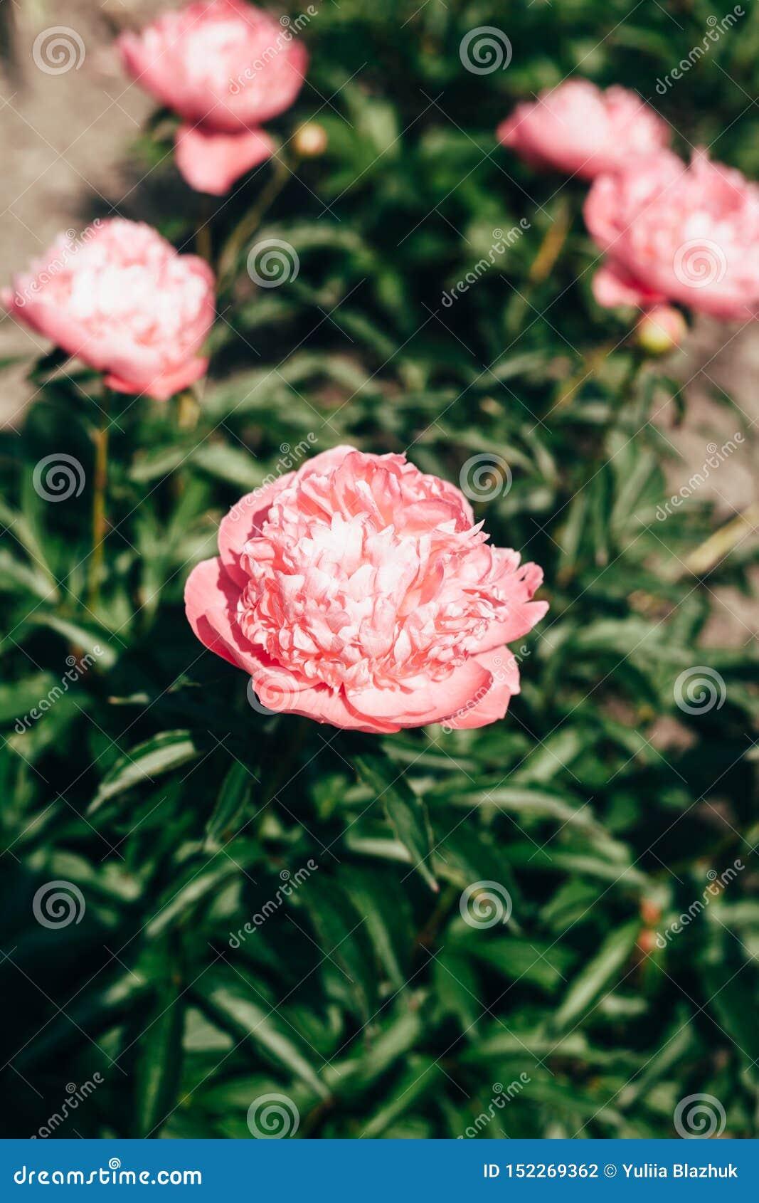 Härligt blekt - rosa pionblommor som är nära upp att växa i trädgården Urblekta f?rger