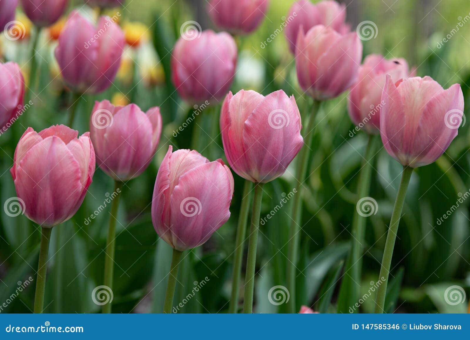 Härligt blekt - rosa tulpan som på våren blommar, parkerar
