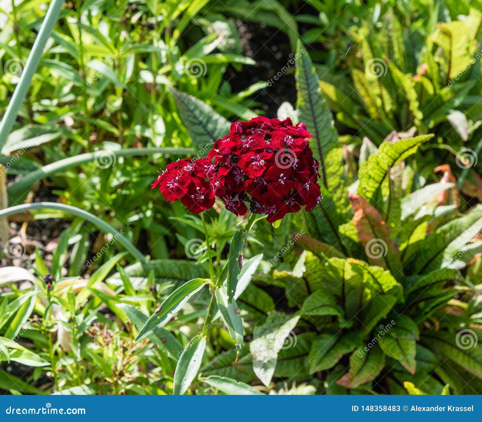 Härligt blommande djupt - röd klungablomma på en botanisk trädgård i Durham, North Carolina