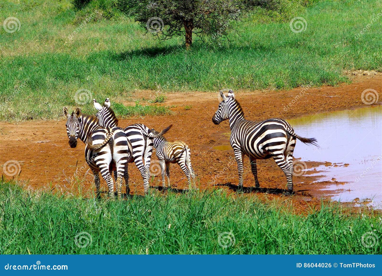 Härligt djur av Kenya - sebran