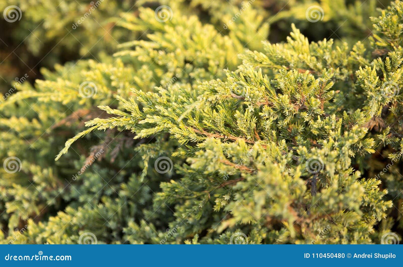 Härligt grönt barrträd i natur