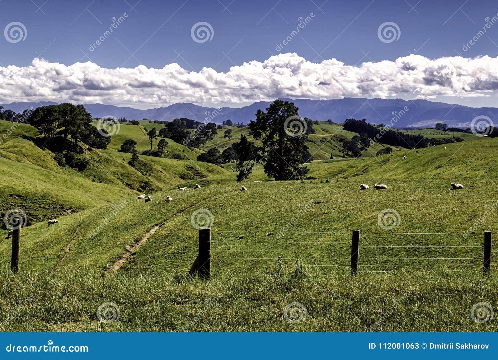 Härligt landskap för gröna kullar med betande får i Nya Zeeland