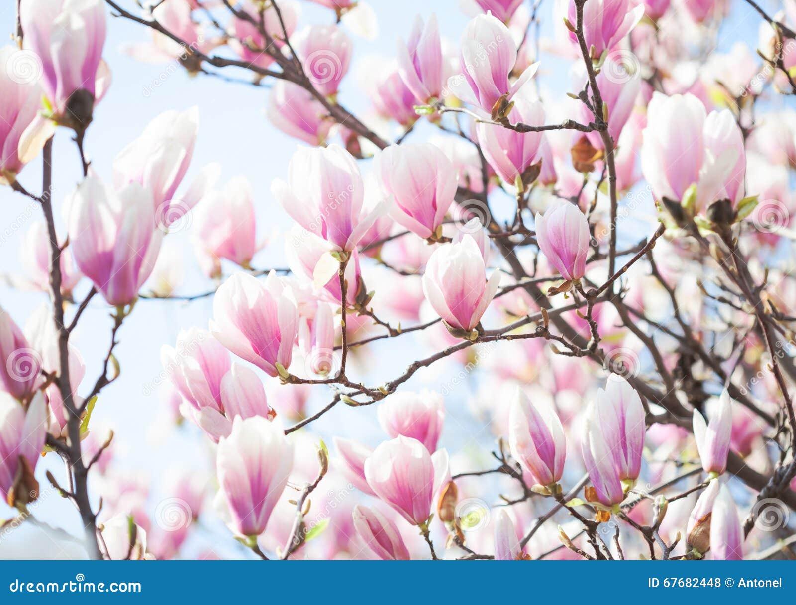 Härligt ljus - rosa magnoliablommor