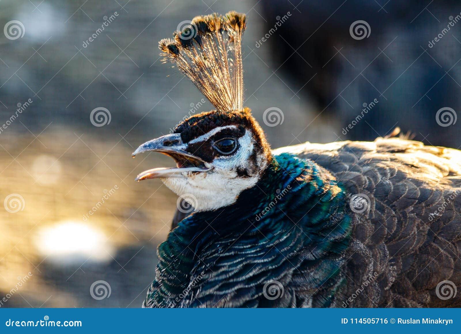 Härligt påfågelhuvud med en tofs