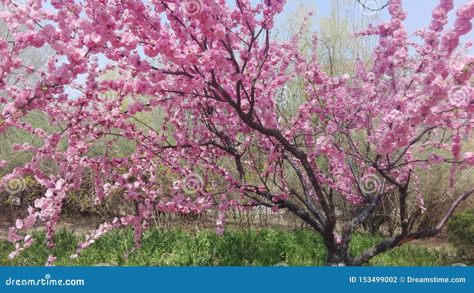 Härligt rosa träd för körsbärsröd blomning i dess fulla blom i vår