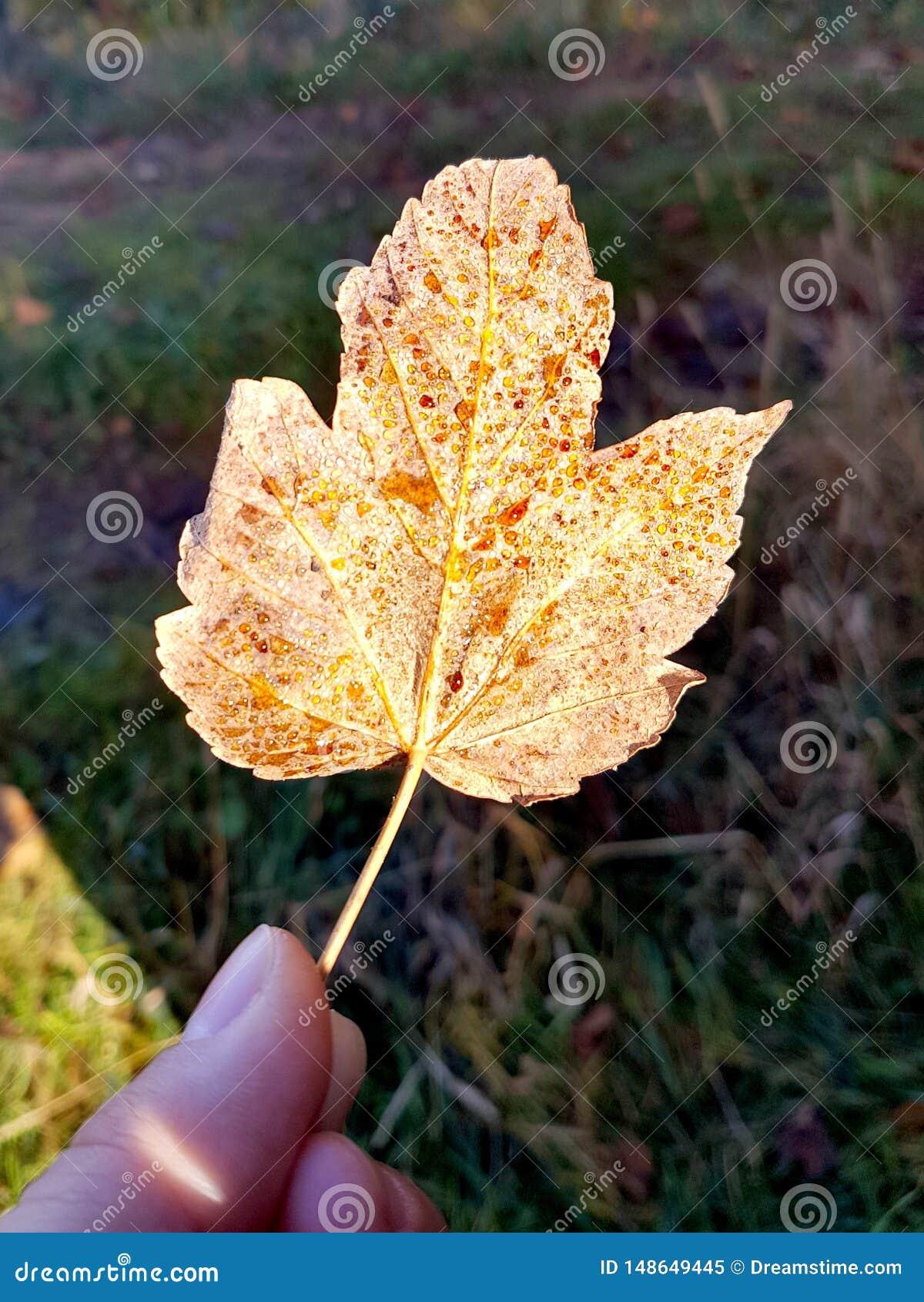 H?rligt stupat blad i hand