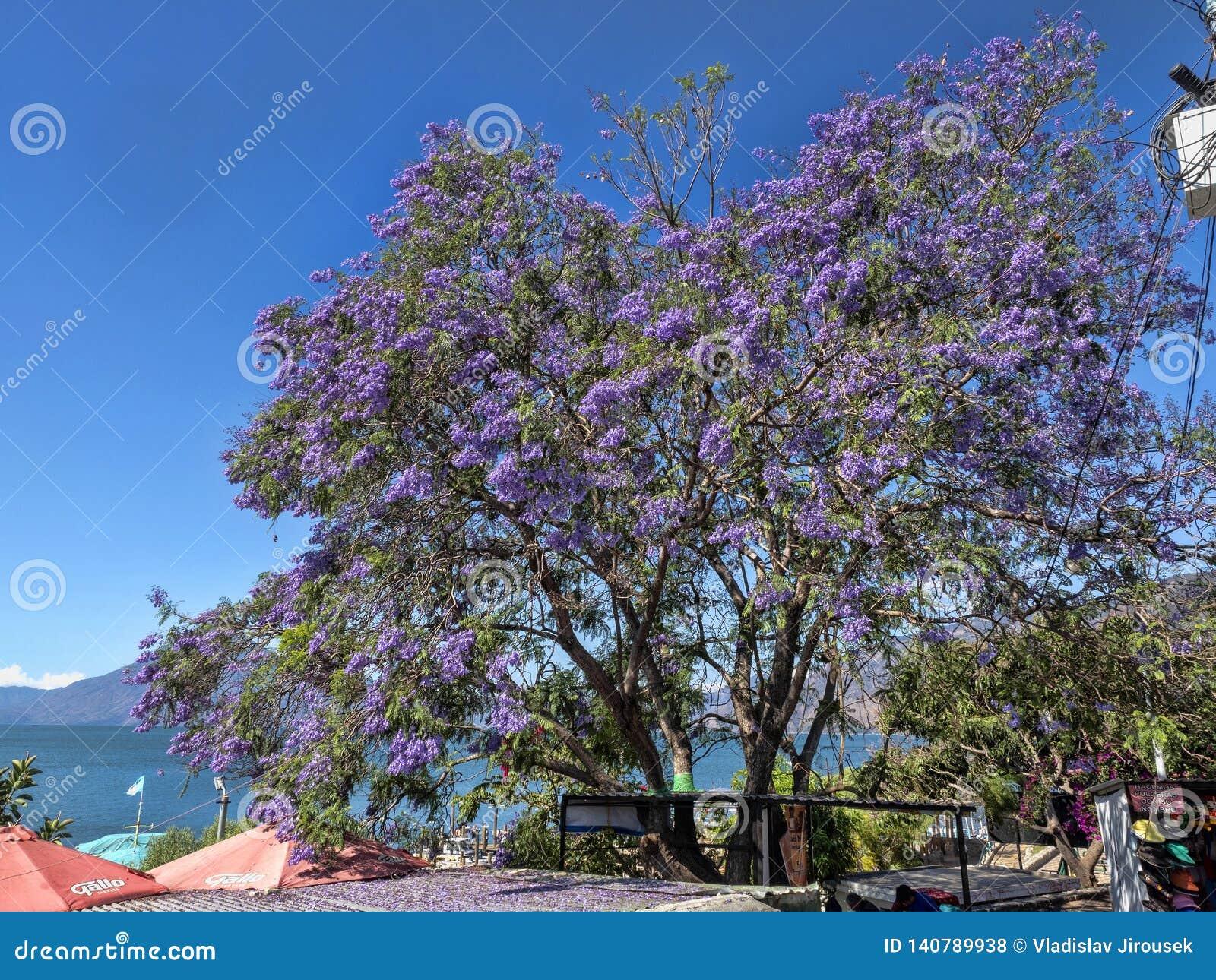 Härligt träd för jakaranda med purpurfärgade blommor, Guatemala