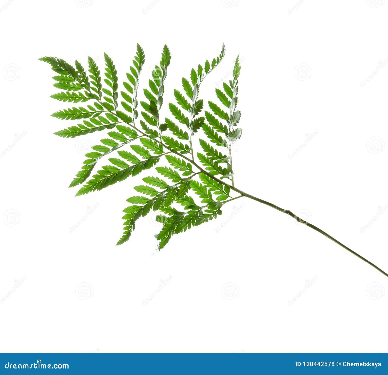 Härligt tropiskt ormbunkeblad