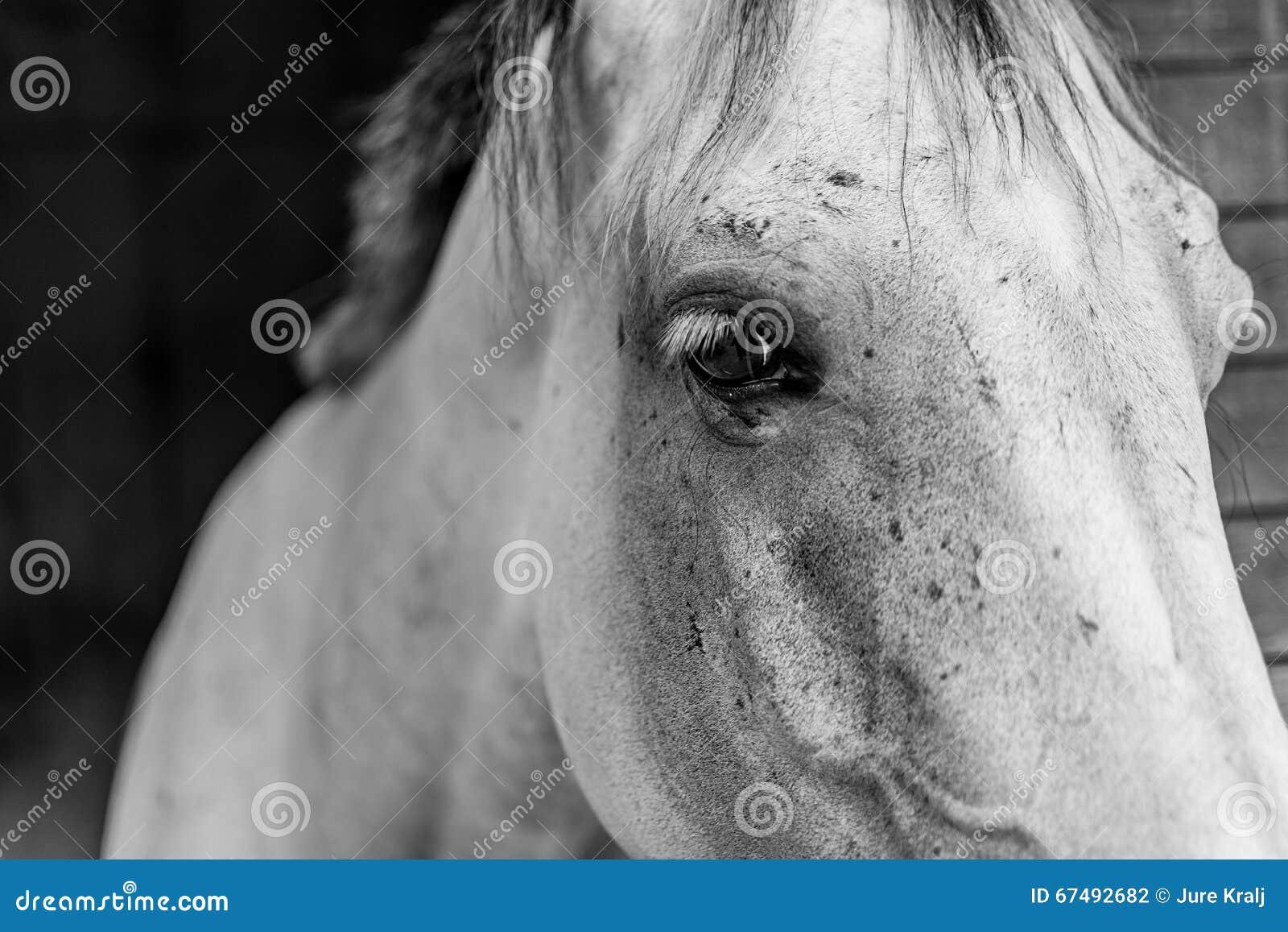 Häst - hästöga