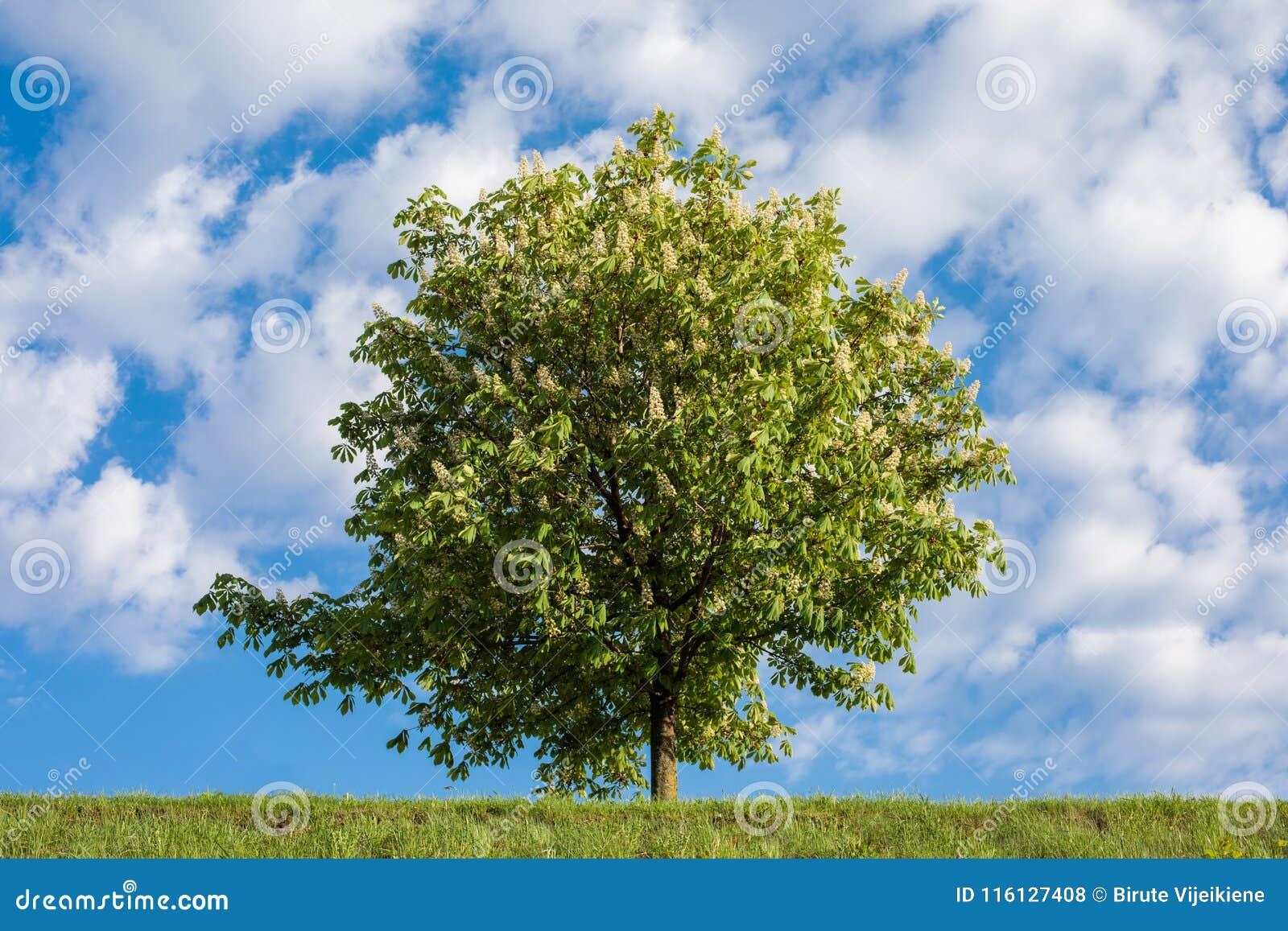 Häst-kastanj träd mot blå himmel