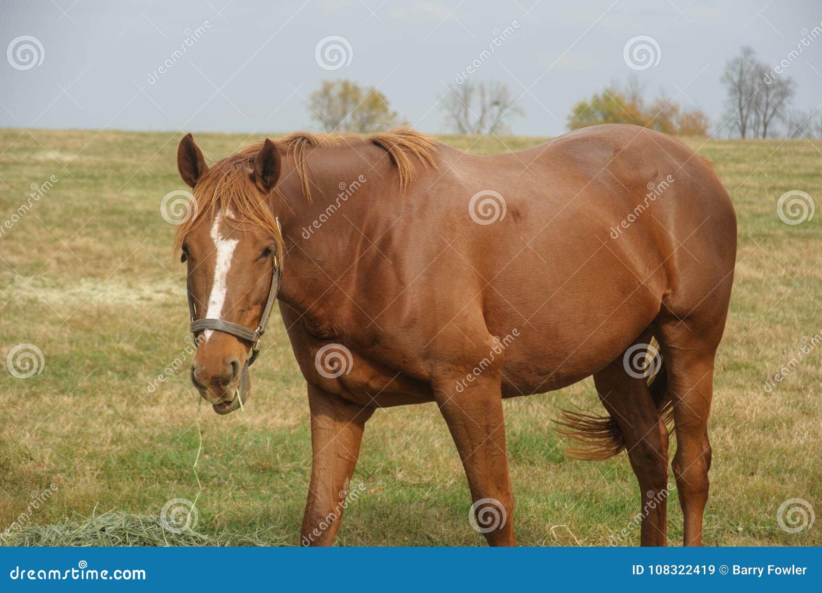 Häst som äter hö i fältet