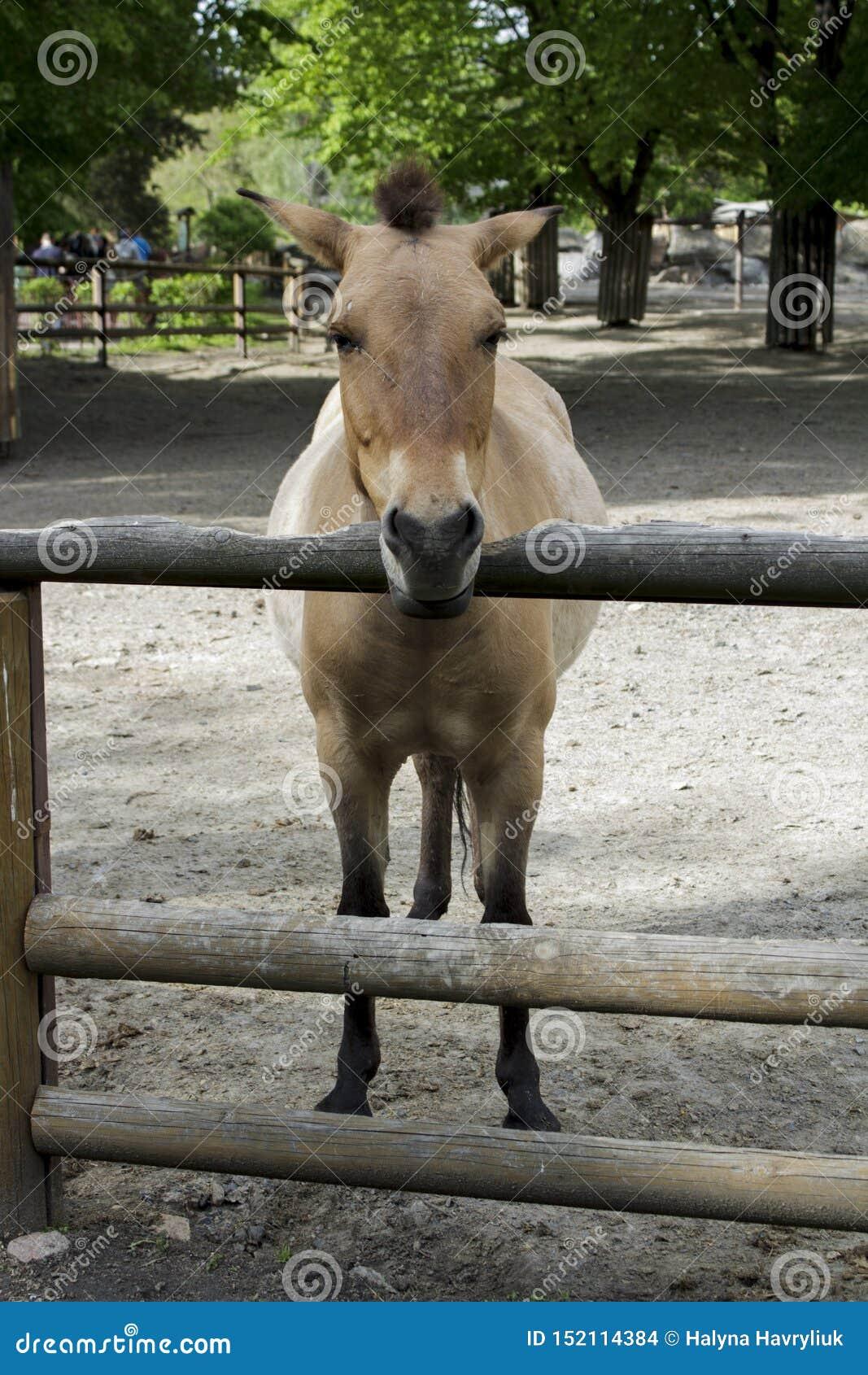 Häst zoo som är lös, przewalski, djur, equus, mongolian, natur, hästar, härligt, utsatt för fara som är asiatiska, przewalskii so
