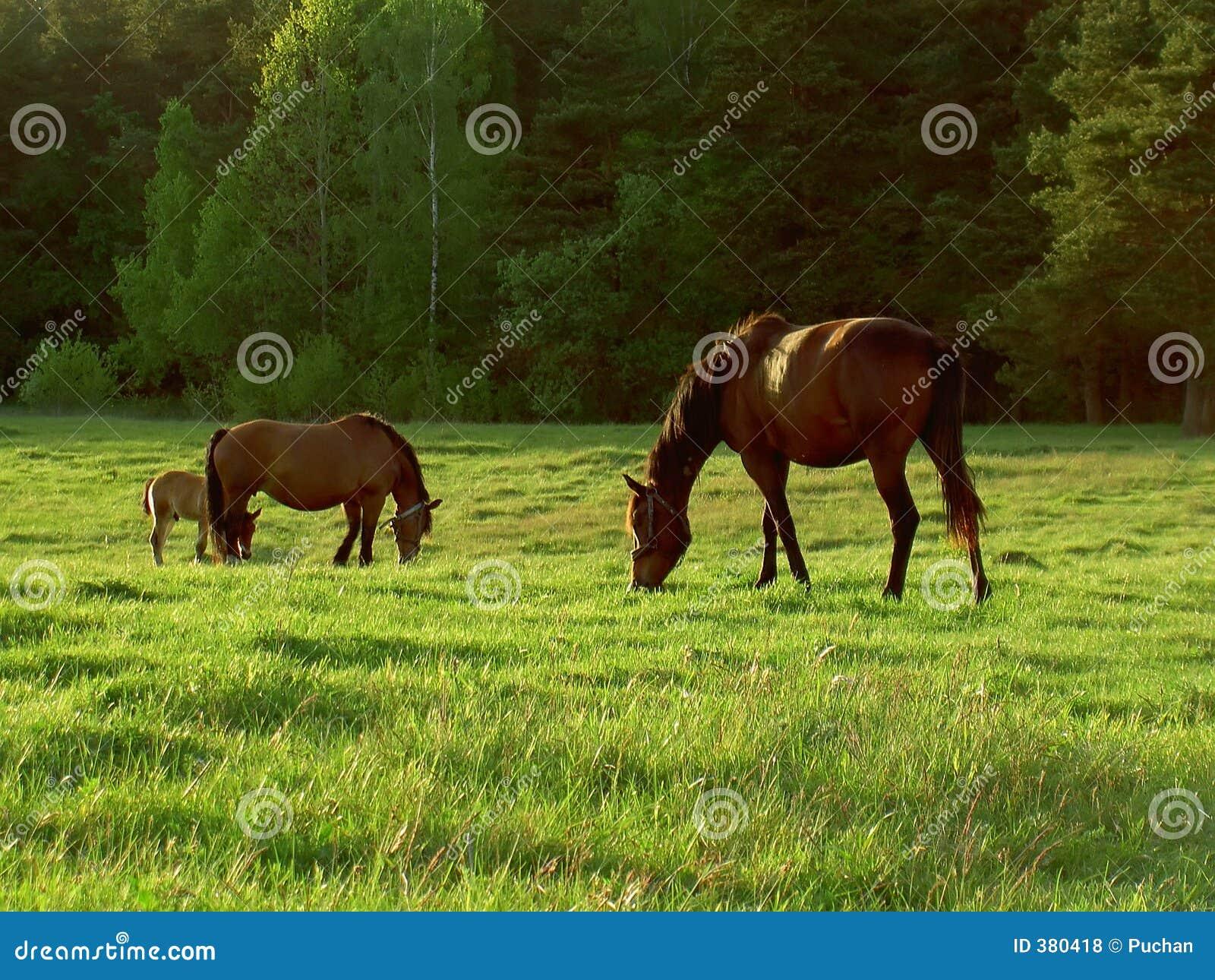 Hästar betar