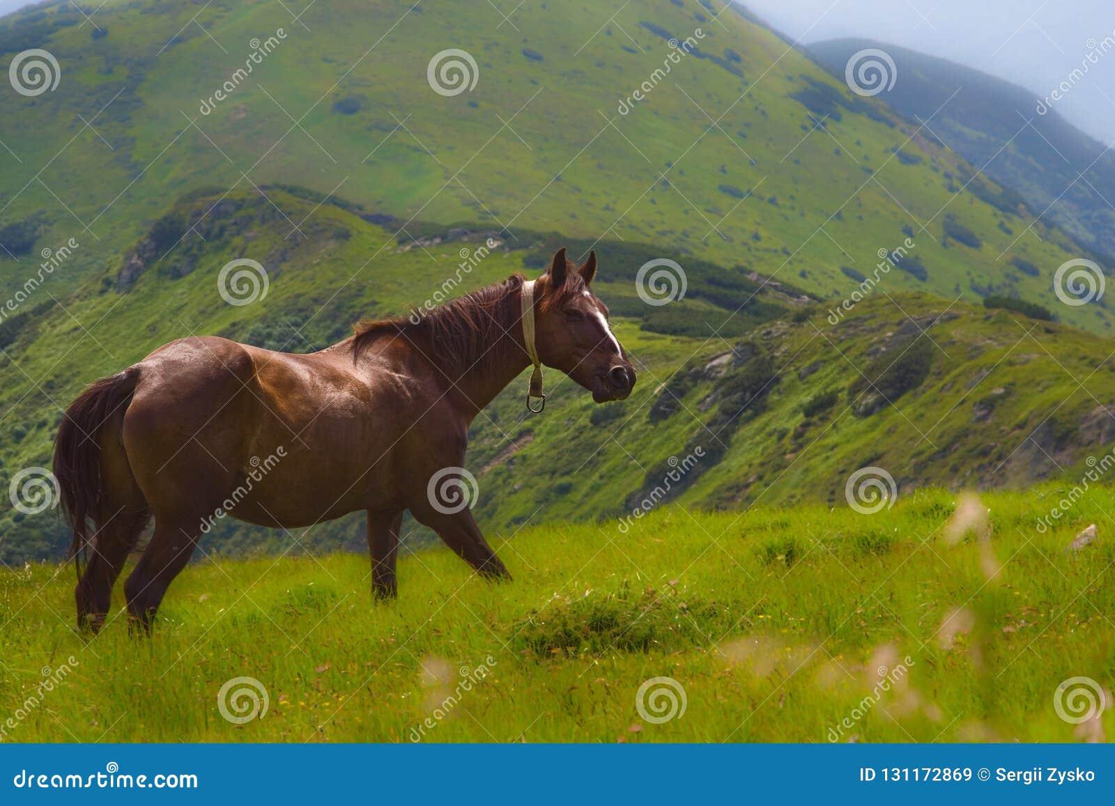 Hästar betar i Poloninen i de Carpathian bergen ukraine