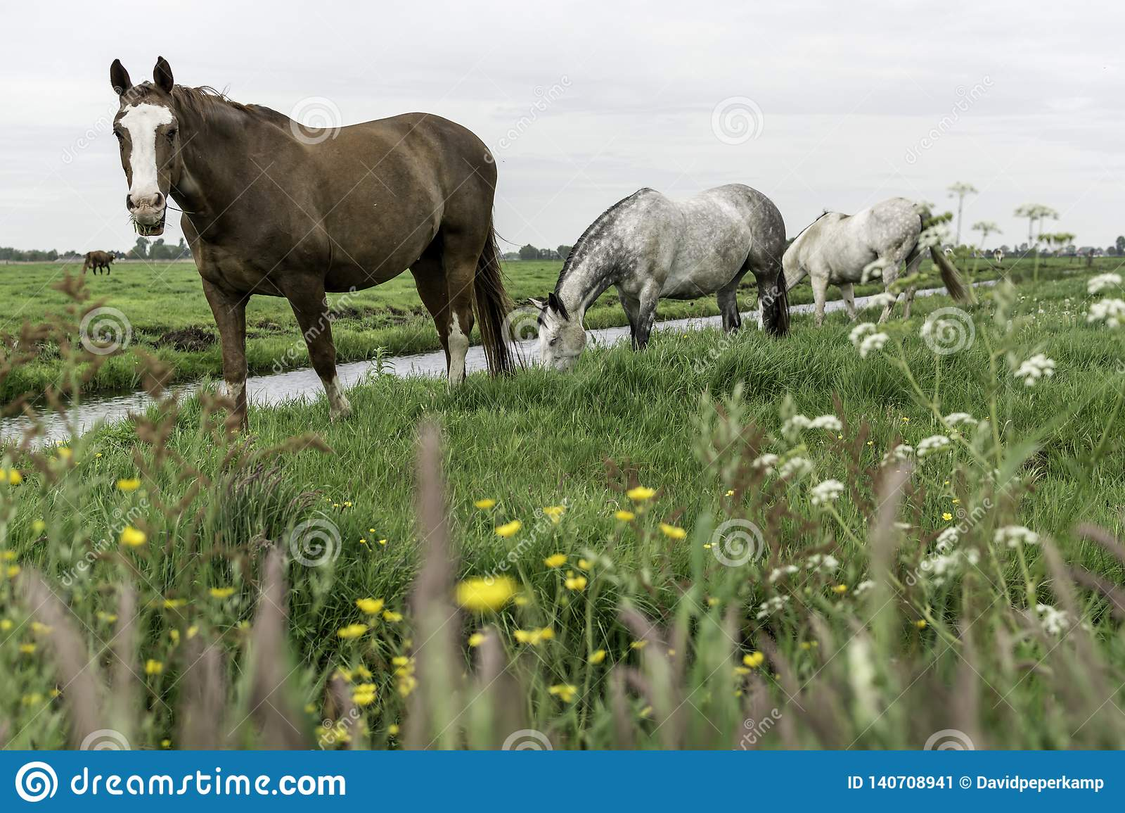 Hästar i betar Amsterdam Noord, Nederland