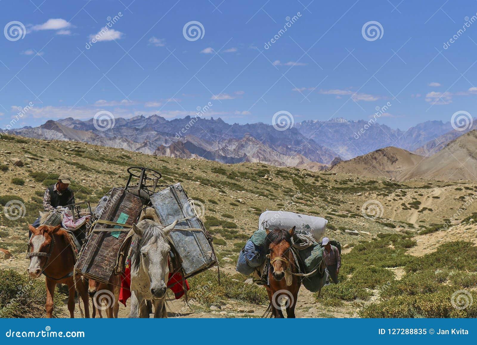 Hästar och mulor som bär tungt gods i Himalaya berg, Markha dal, Ladakh, Indien
