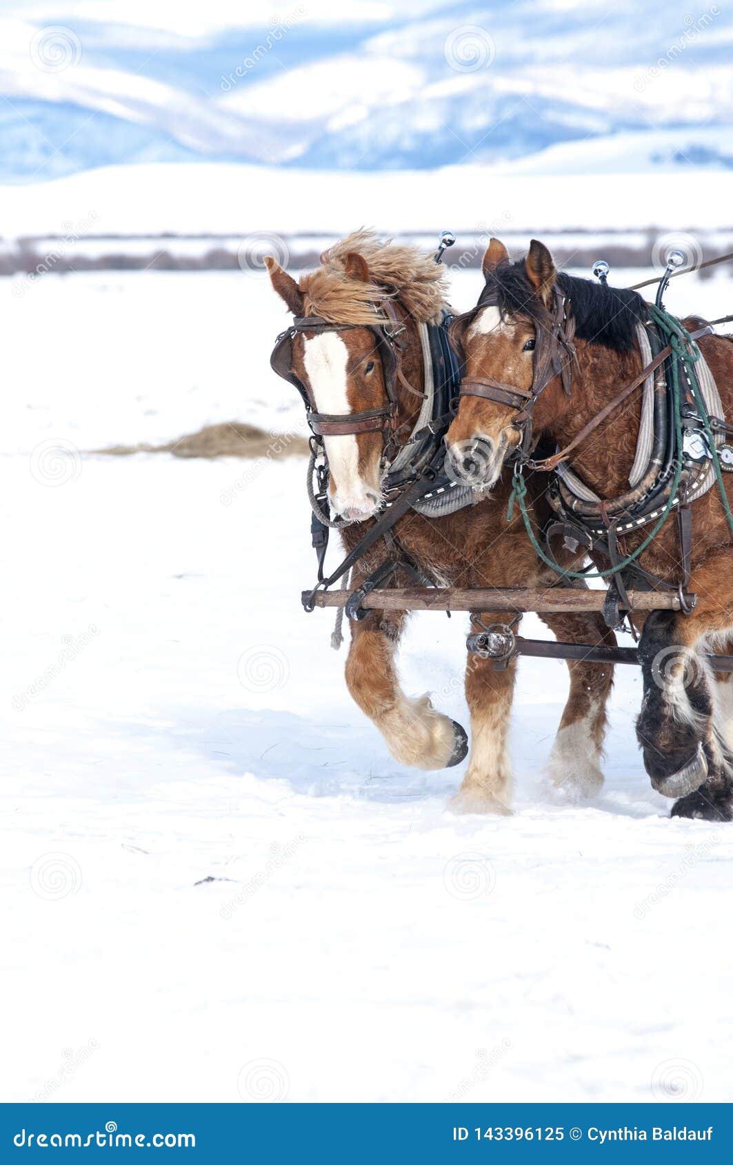 Hästar som tillsammans drar i snön