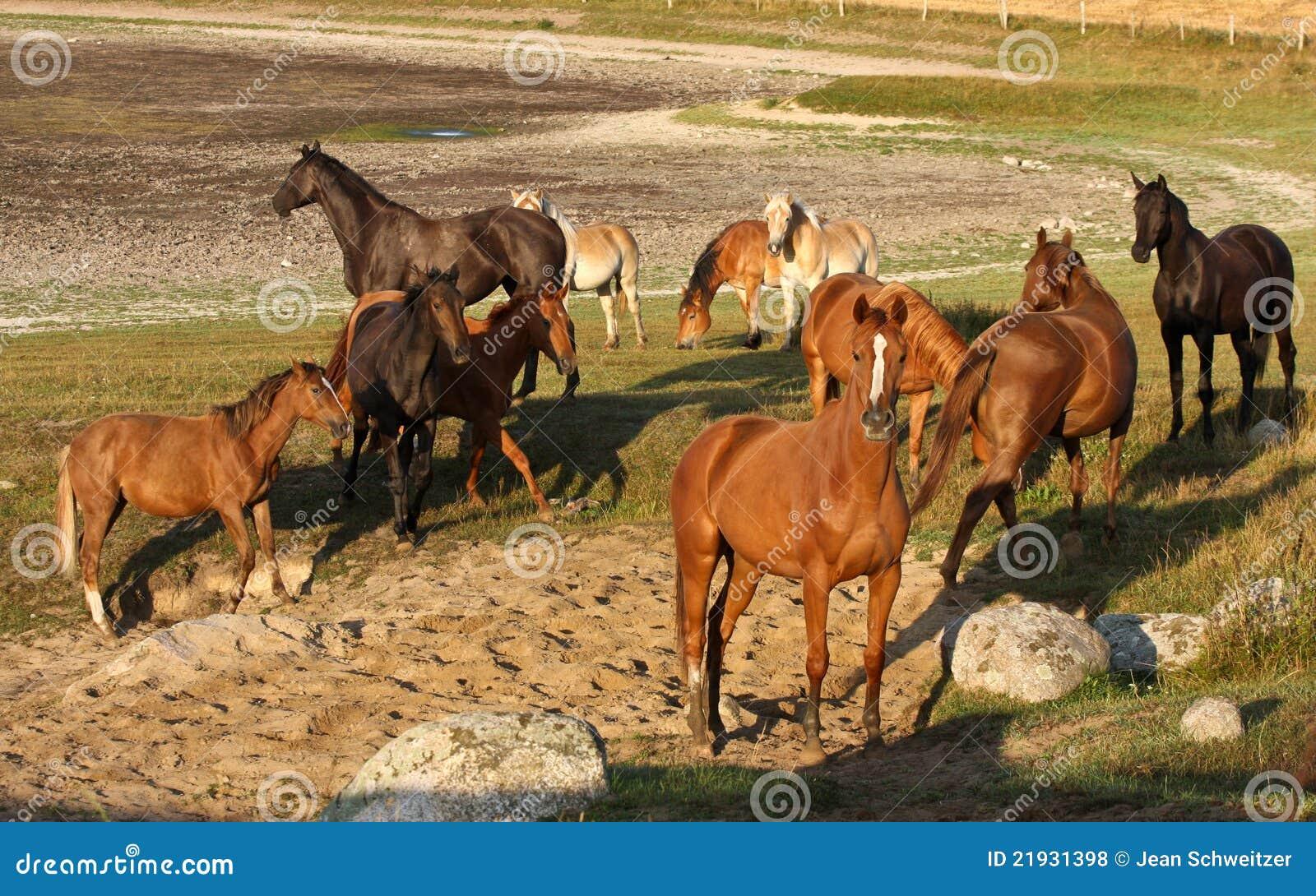 Hästar sweden