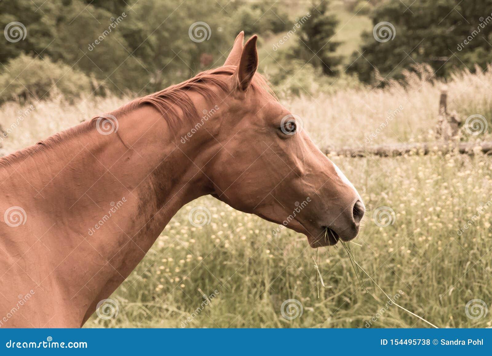 Hästen äter gräs i betar