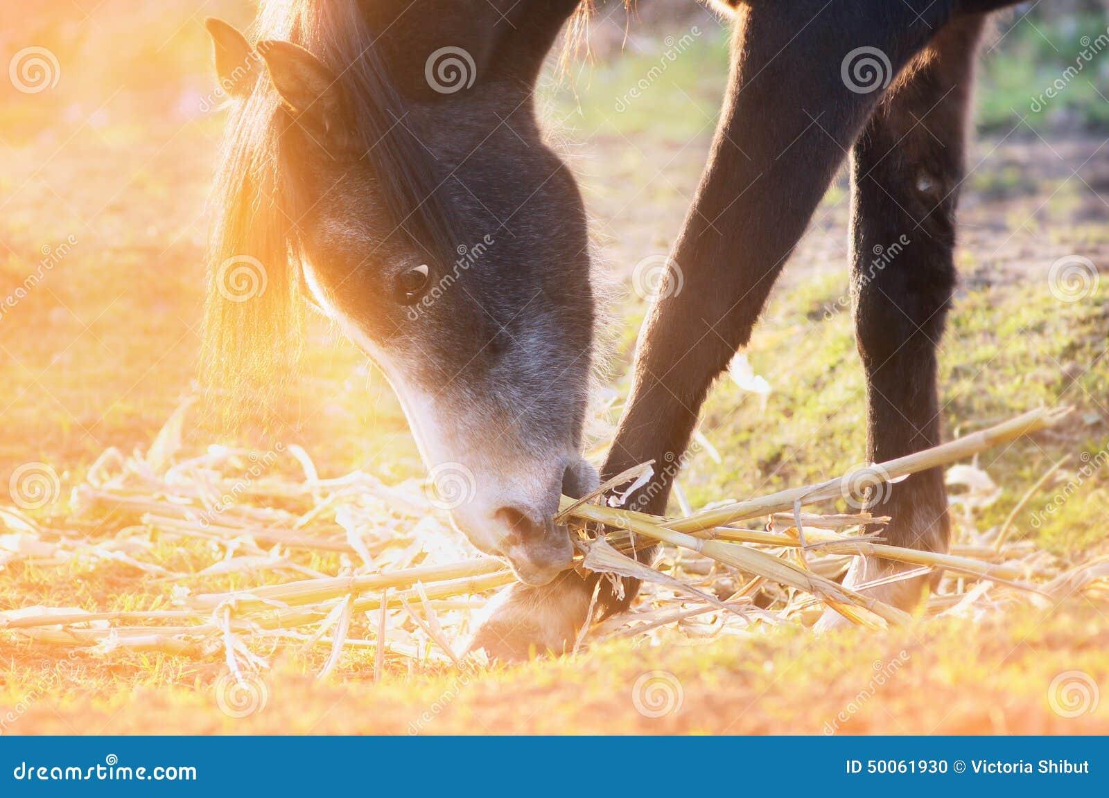 Hästen äter havresugrör betar in i solljus på solnedgången