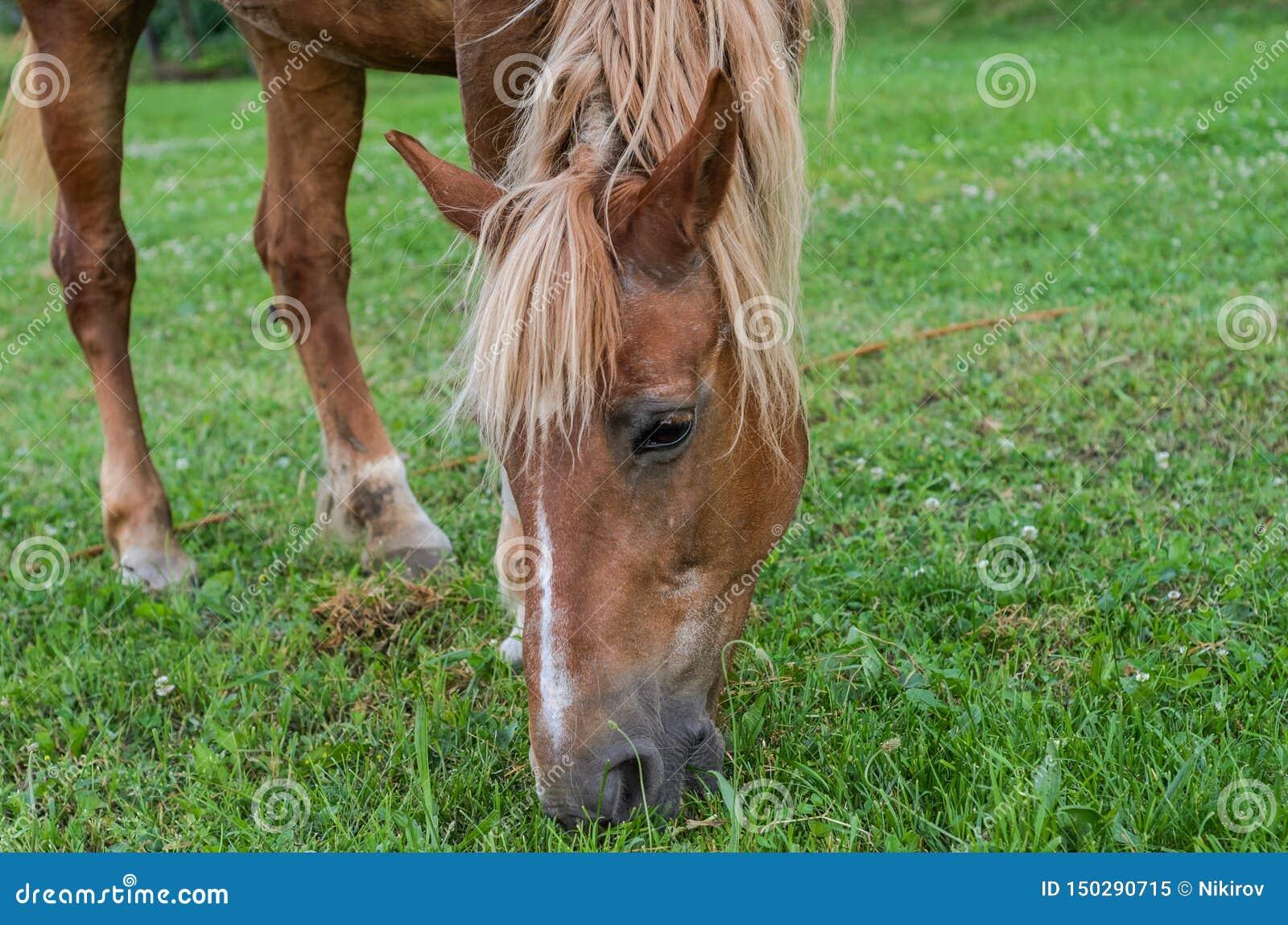 Hästen betar på fältet och äter gräs