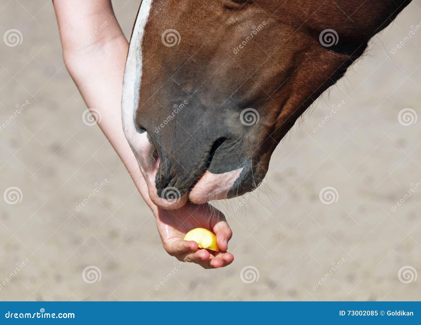 Hästen mottar en läckerhet