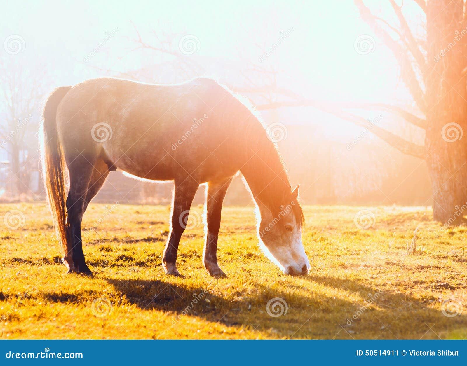 Hästskrubbsår betar på på solnedgången