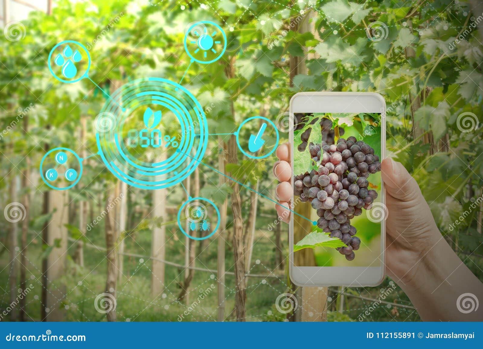 Hållande mobiltelefon för hand som kontrollerar druvor i jordbrukträdgård med begreppsteknologier