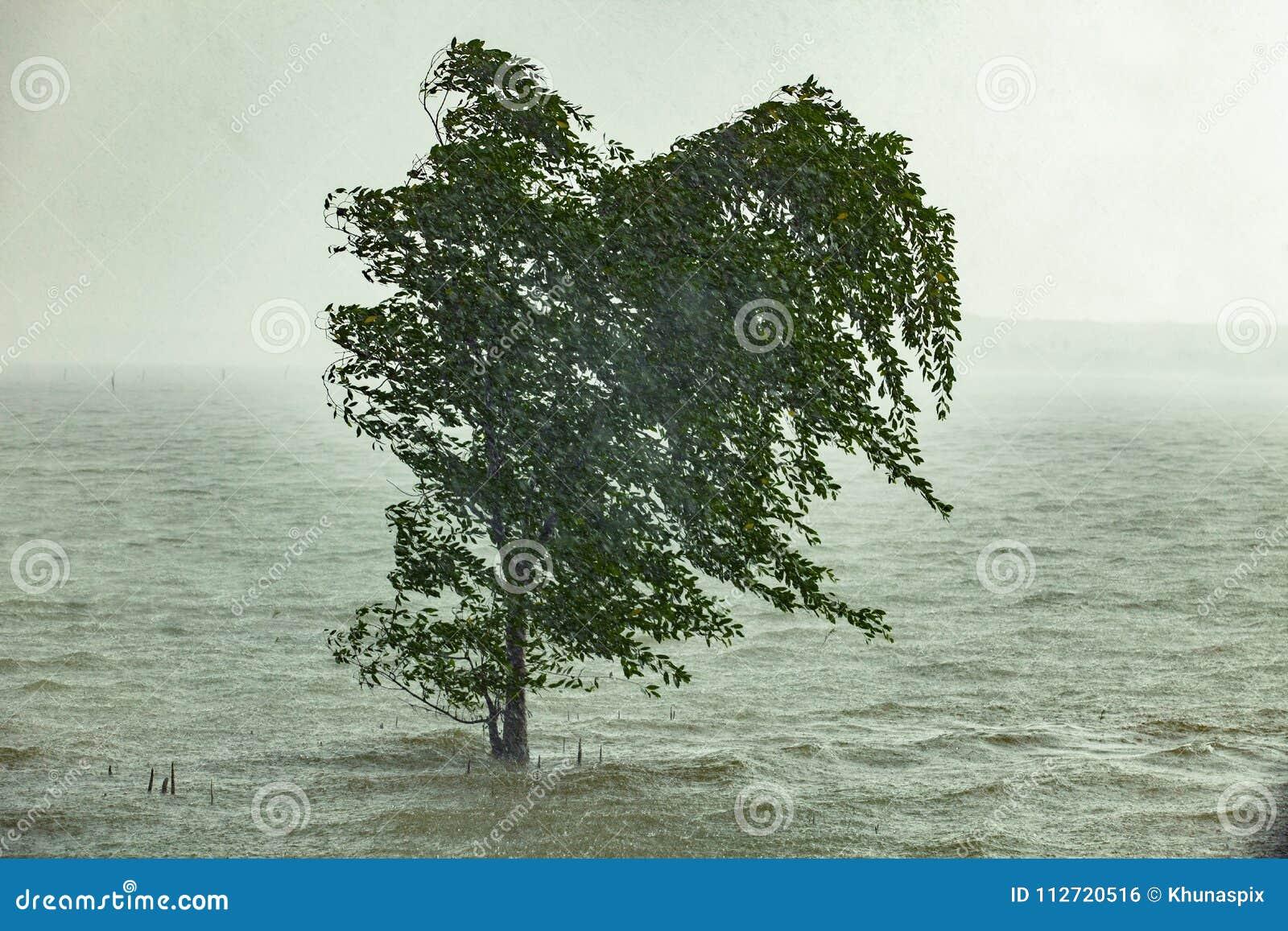 Hård strom som regnar blåsa mangroveträdet i havskust