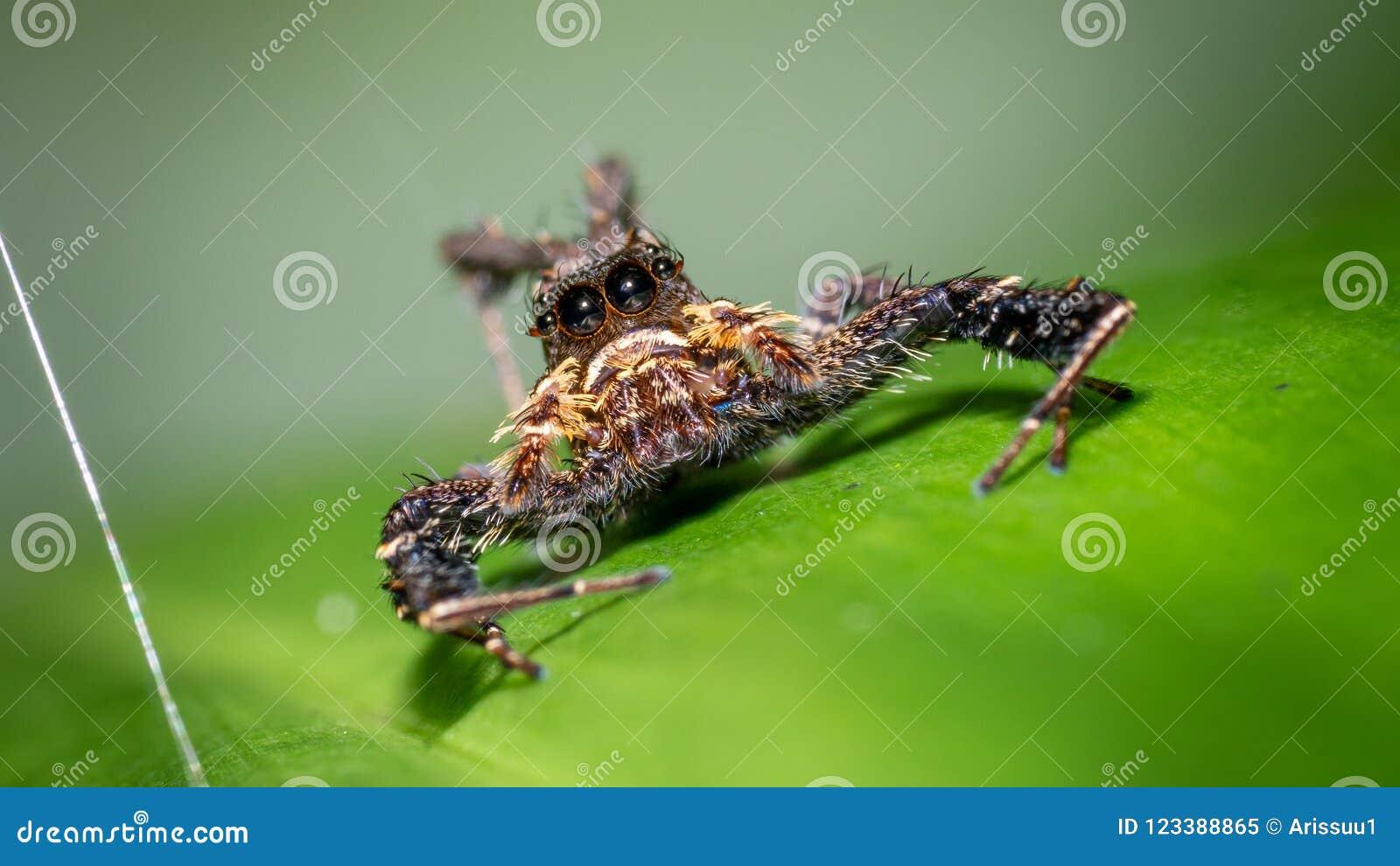 Hårig spindel på det gröna bladet