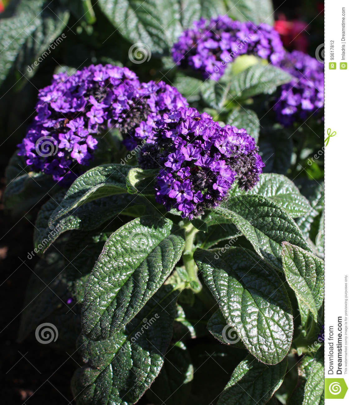 Heliotrope Pourpre Photo Stock Image Du Petales Ete 93617812