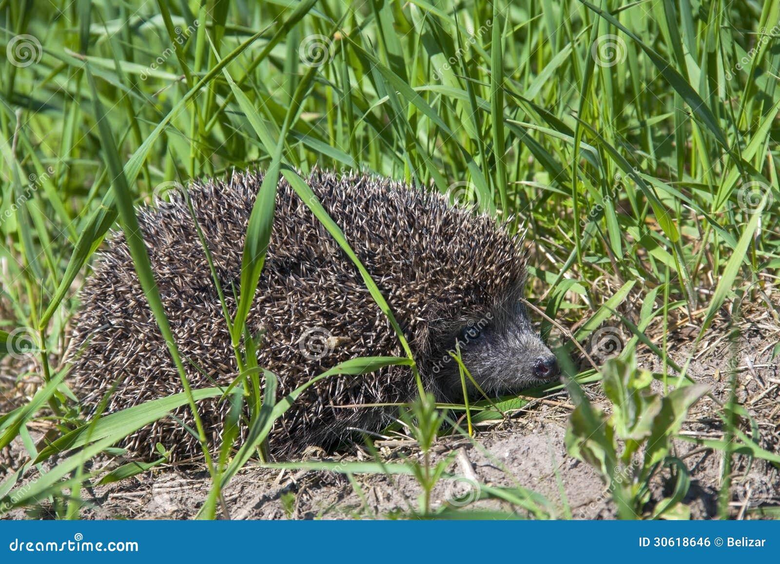 Hérisson dans l herbe