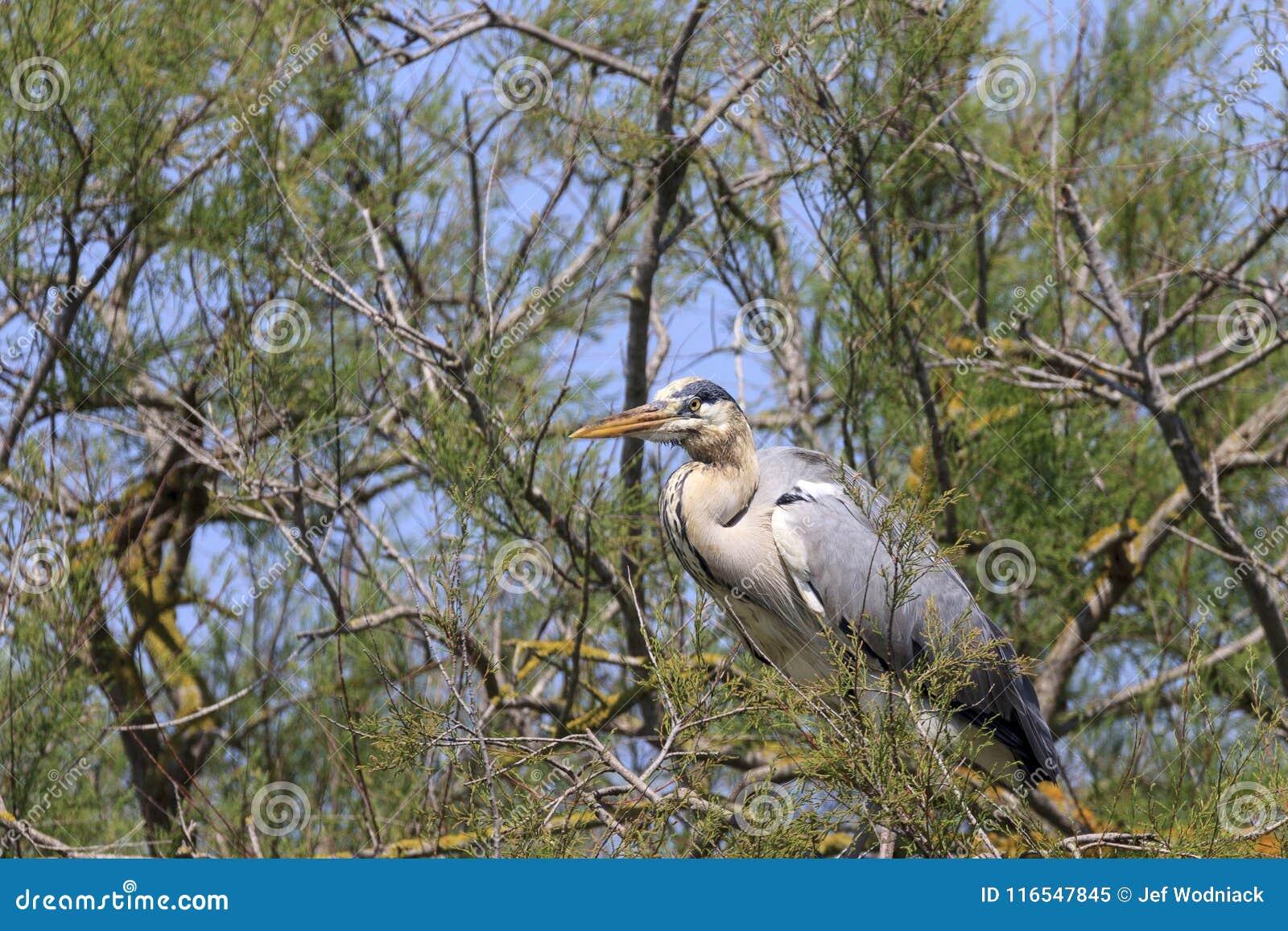 Héron dans un arbre