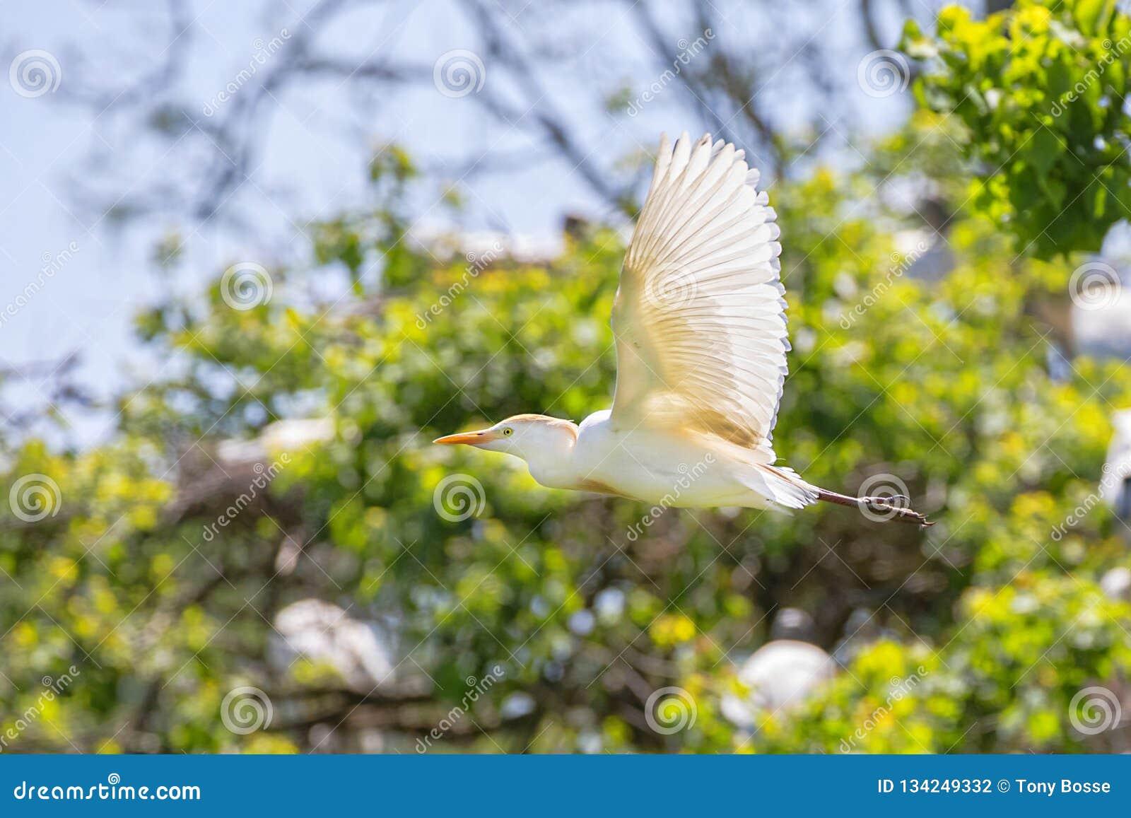 Héron de bétail volant en multipliant le plumage
