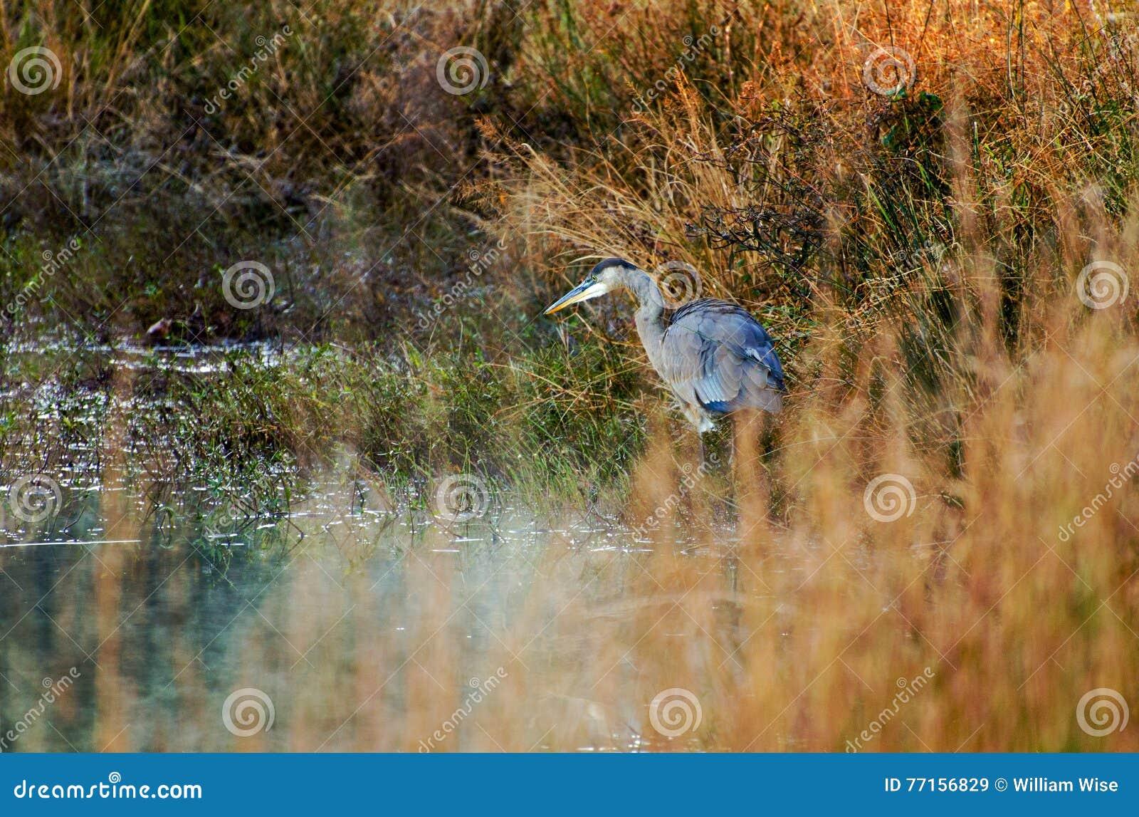 Héron de grand bleu dans les roseaux